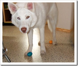 Despereaux, Siberian husky