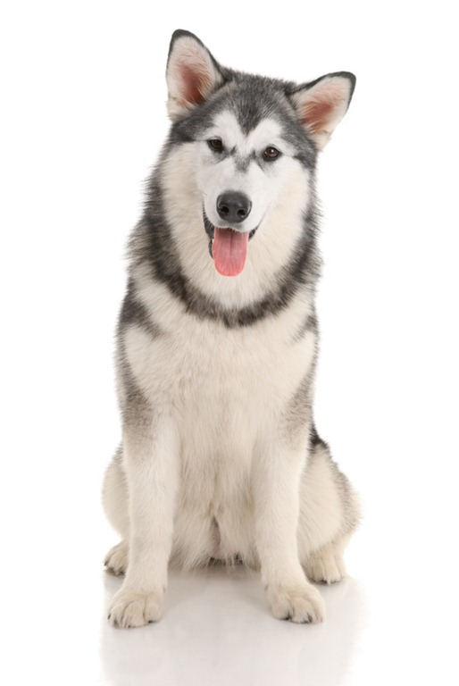 Can you really tell the difference between a malamute and a husky ...