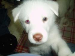 Despereaux, our 4th husky